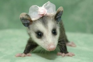 What an an attractive possum might look like.